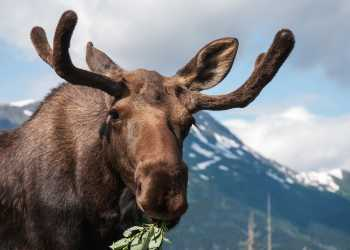 Moose borwsing near the mountains