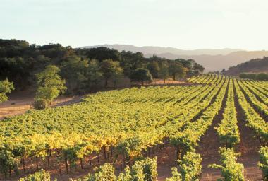 Vineyards in Oakville, Napa Valley