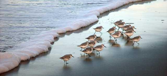 Sandpipers at Sunrise, Oregon Coast Beach by Robert Petit