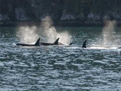 Orcas swimming during day cruise in Kenai Fjords National Park