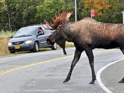 A bull moose crosses the street in Anchorage, Alaska, where wildlife are among the city's residents.