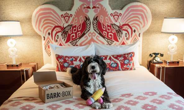 Bernedoodle Sally poses at the dog-friendly Graduate Columbia hotel for Influencer owner duo, the Traveling Newlyweds.