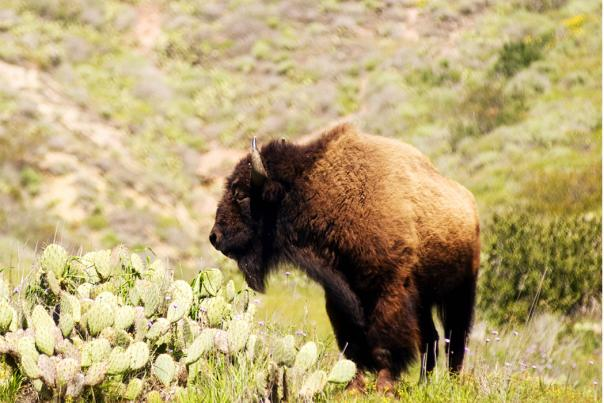 Bison near a prickly pear cactus on Santa Catalina Island