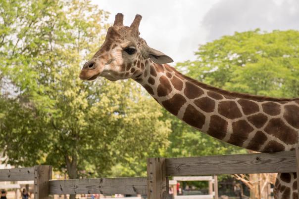 A giraffe at Henry Vilas Zoo
