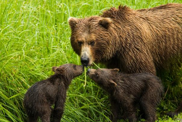 A brown bear sow and two cubs eat vegetation