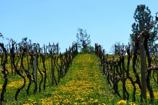 Kelowna- Sperling Vineyards