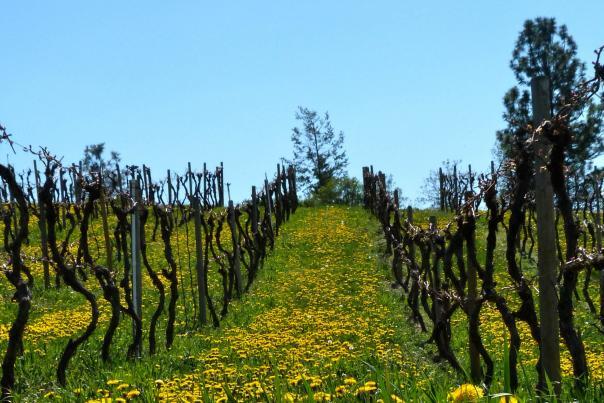 Kelowna- Sperling Vineyards