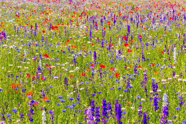 Ennis Park-Wildflowers-V
