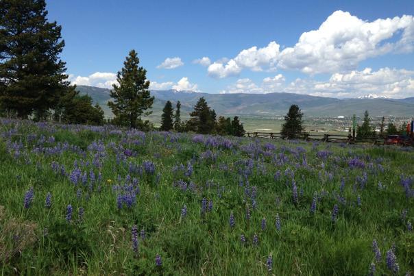 Lupine wildflowers near Granby Ranch