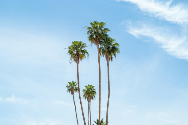 Palm Trees with blue sky backdrop
