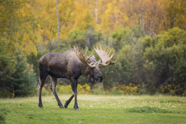 Bull moose walking across grassy landscape