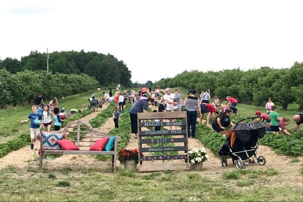 Beasley's Orchard, U-Pick Strawberries, strawberry picking,