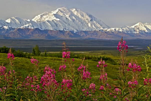 View of Denali with fireweed