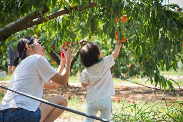 Peach Picking at Jenschke Orchards