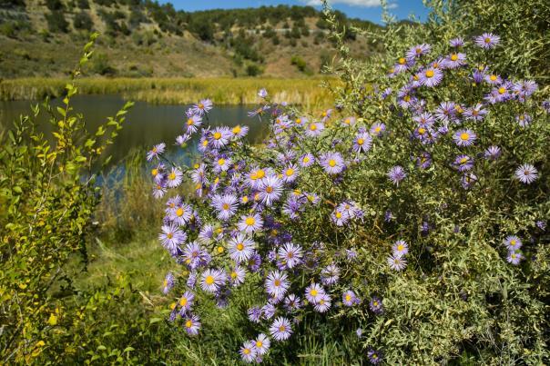 Beautiful asters soak up the sun at Santa Fe Canyon Preserve, New Mexico Magazine