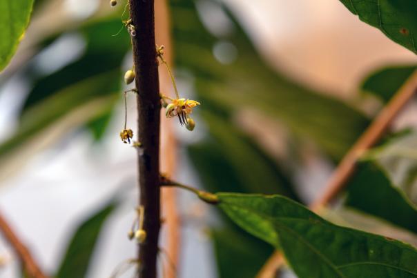 Cacoa Plant Budding