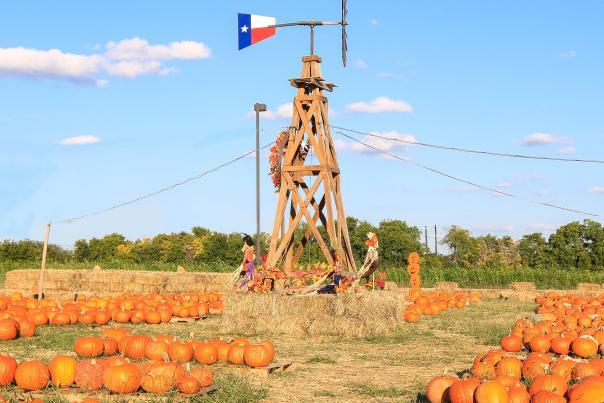 rows of pumpkins at pumpkin on the prairie pumpkin patch in frisco, tx