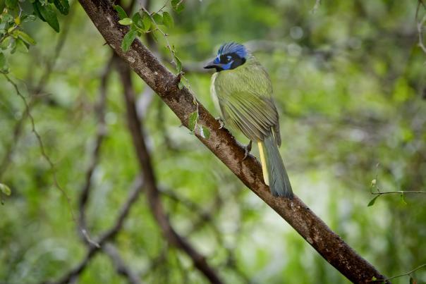 Green Jay-Bird-TPWD