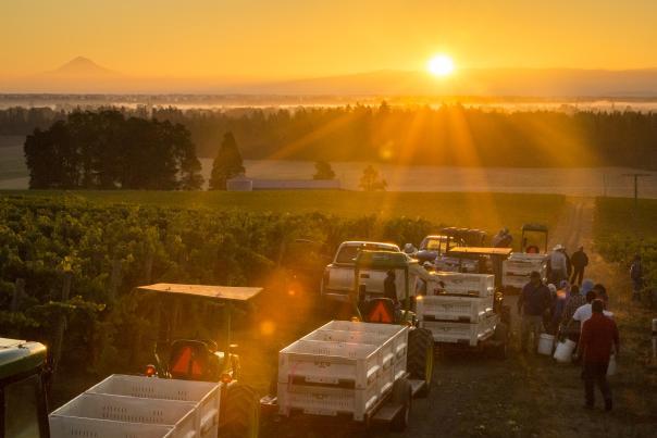 Sunrise harvest at Argyle's Lonestar Vineyard