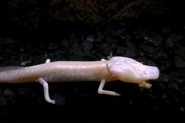 Blind Salamander at The Meadows Center