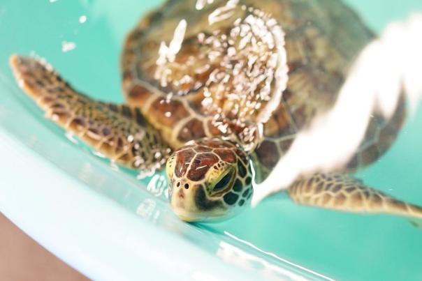 NEST seaturtle roanoke island aquarium