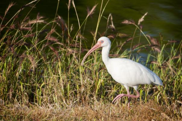A white ibis in North Carolina's Brunswick Islands