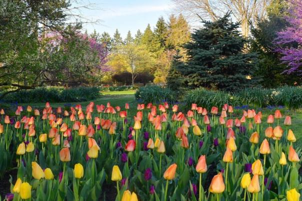 Foster Park Tulips - Fort Wayne, Indiana