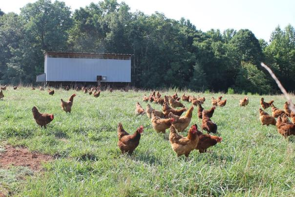 Chickens frolicking in a field