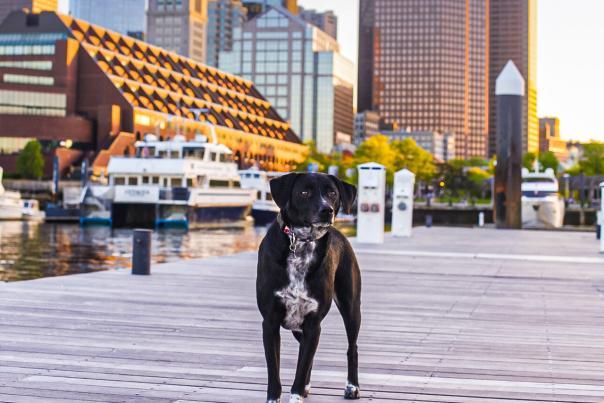 Dog standing on boardwalk with Boston skyline in background