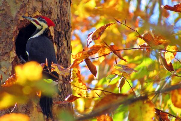 Woodpecker fall leaves