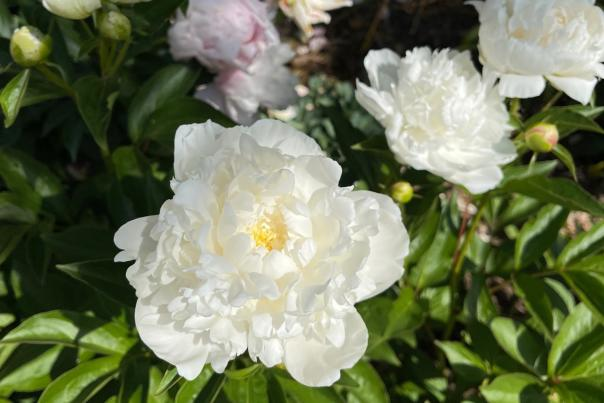 White peonies at the Chase Lloyd House garden