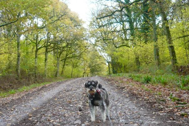 Dylan the miniature Schnauzer at Duncliff Woods in Dorset