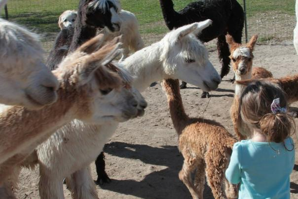 Montrose Alpaca Farms