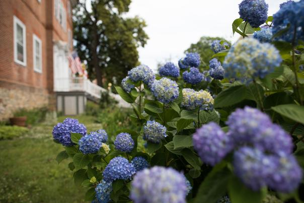 Hydrangeas in the gardens of the Chase Home Garden.