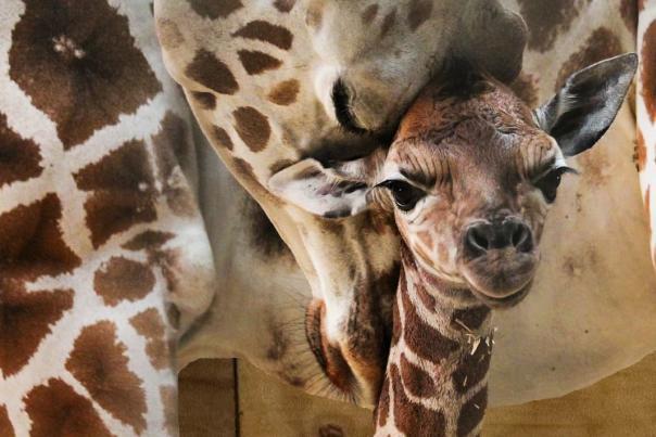 Baby Giraffe Sukari at the Fort Wayne Children's Zoo