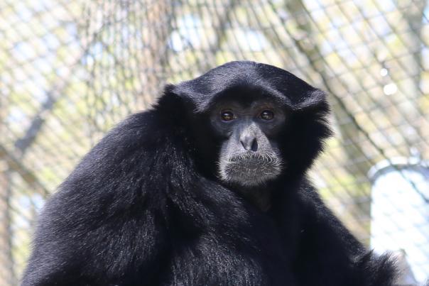 Siamang at Dickerson Park Zoo