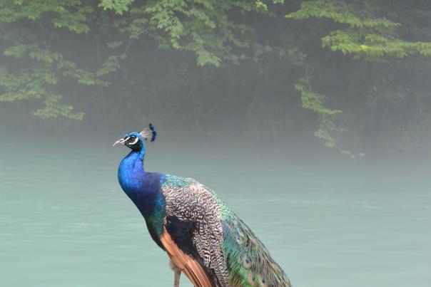 Peacock at Dunnegan Park