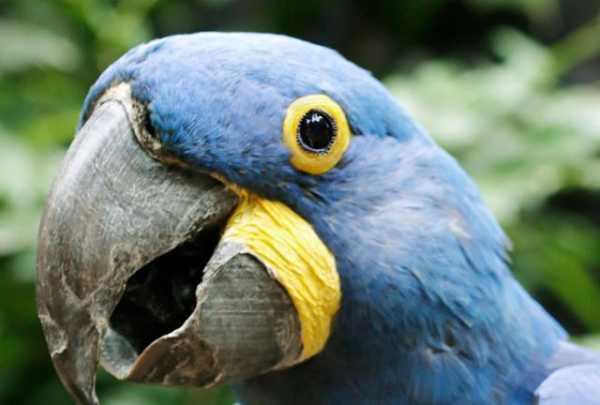 Hyacinth macaw at Dallas Zoo