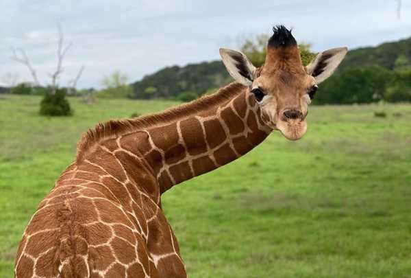 Giraffe at Fossil Rim Wildlife Center
