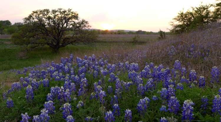Bluebonnets. Wildflowers