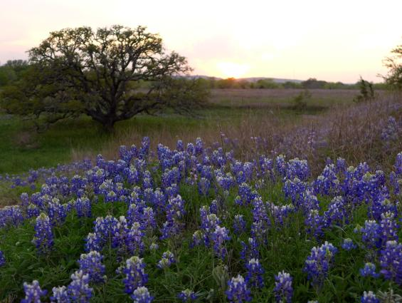 Bluebonnets in Fredericksburg, Gateway to The Texas Hill Country