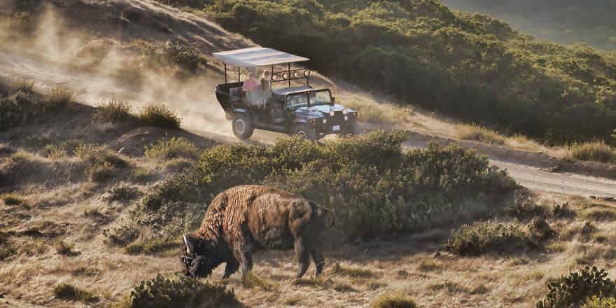 Visitors in an open-air biofuel Hummer spot a bison on a tour of Catalina Island