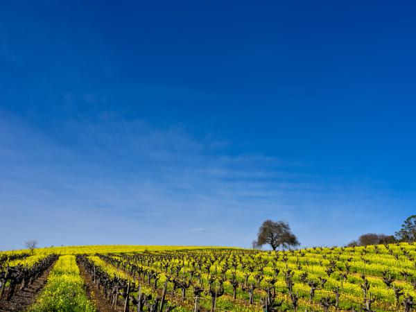 Napa Valley vineyard in winter with mustard