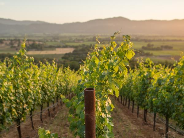 Summer in Napa Valley vineyards