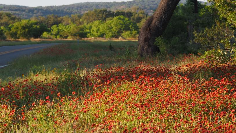 Indian Paintbrushes on Roadway with View
