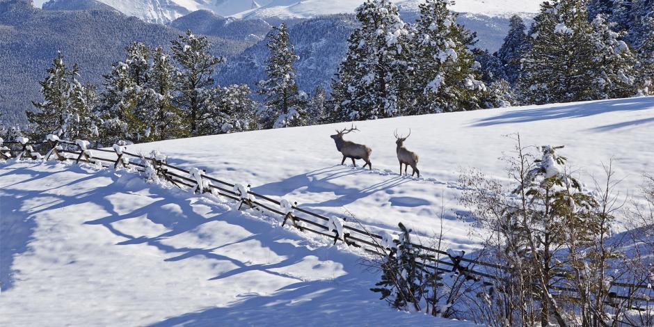 Hero_Winter-Elk