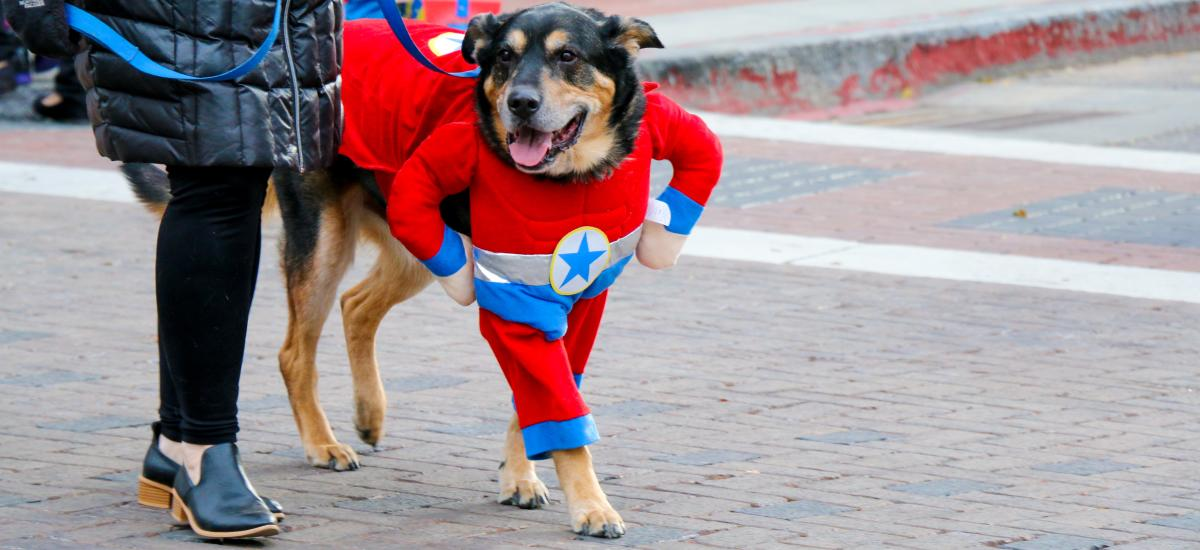 Dog in super hero costume