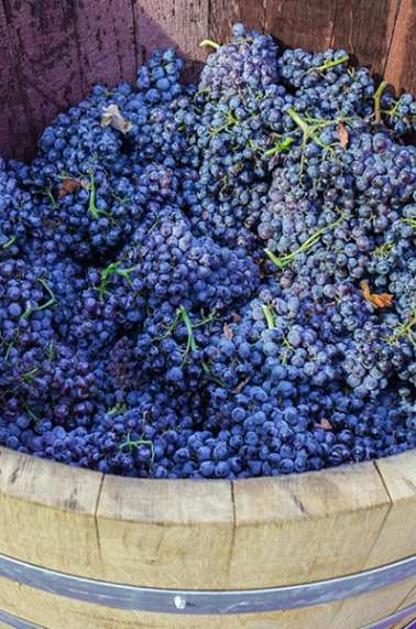 Grape Stomps in Temecula