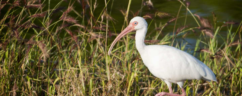 A white ibis in North Carolina's Brunswick Islands