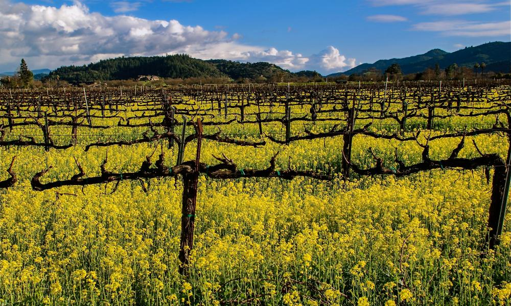 Winter vines and mustard in Napa Valley